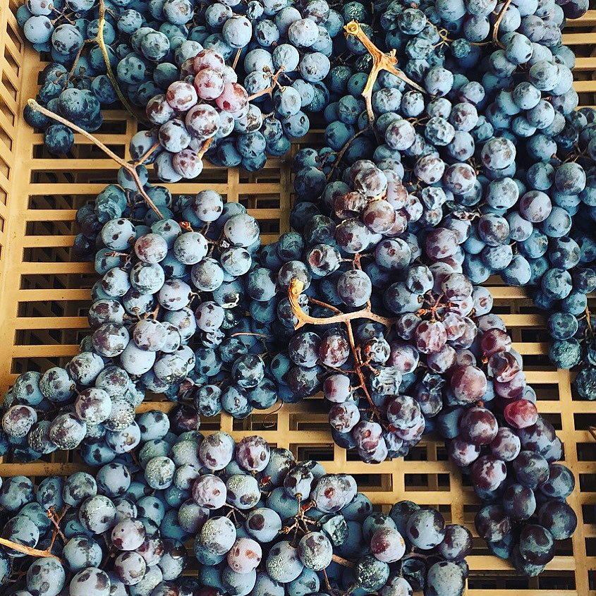Виноград Молинара придаёт винам Ca'Botta некую солнечность и минеральность; сорт винограда назван так благодаря специфическому налету, отчего кажется, будто ягоды посыпаны мукой — Uva del Mulino, Mulinara o Molinara