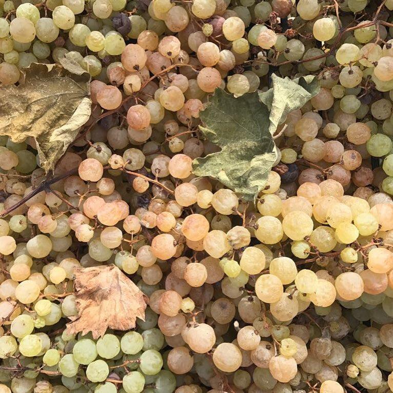 Riesling Renano — этот сорт винограда используем для изготовления нашего la Callaia. А вообще, эта лоза считается королевской и чуть ли не лучшей для создания белых вин